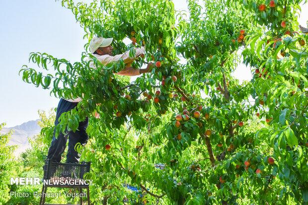 Peach harvest in central Iran