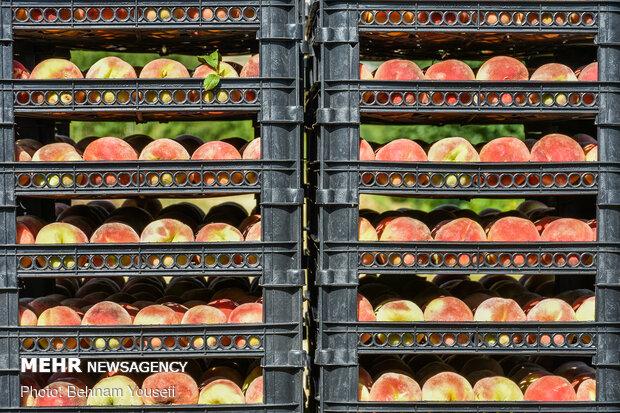 Peach harvest in central IranPeach harvest in central Iran