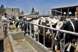 ۲۳۲ هزار تن شیر در چهارمحال و بختیاری تولید شد