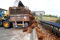 مالزی ۲۵درصد درآمد روغن پالم را بدلیل کمبود کارگر از دست میدهد