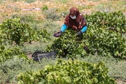 دسترنج کشاورزان با افت دما از بین رفت/ خسارت به ۴۰ درصد تاکستان ها