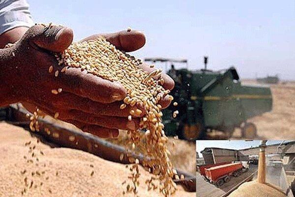 خرید تضمینی ۳۳۴ هزارتن گندم از کشاورزان استان همدان