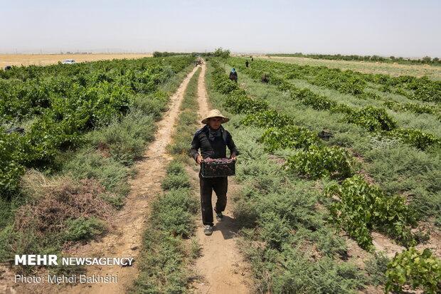 Harvesting grapes in Qom