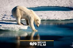 محو شدن خرس های قطبی از روی زمین تا سال ۲۱۰۰