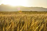 آغاز برداشت گندم و جو از مزارع کشاورزی شهرستان هامون