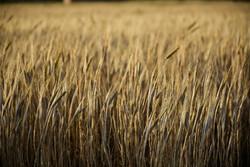 خریداری ۱۸ هزار تن بذر گندم در لرستان