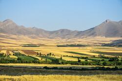 افزایش قیمت گندم در بازار آزاد، انگیزه کشاورزان را بالا برد/ پیش بینی تولید ١۴ میلیون تن