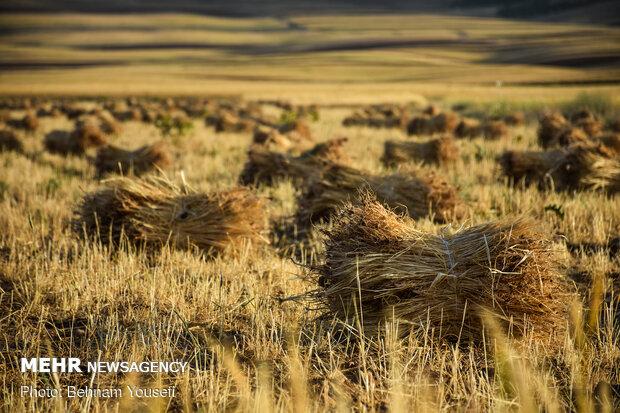 buğday hasadı
