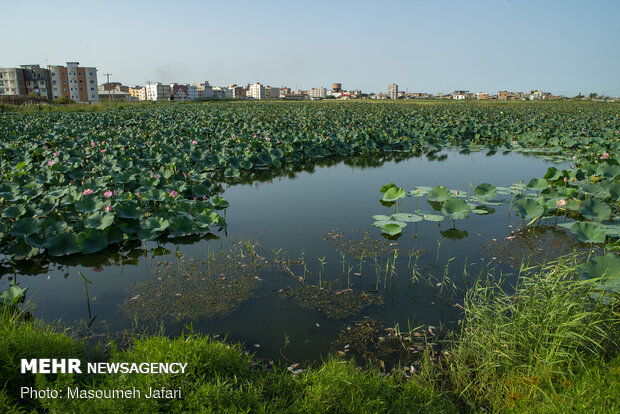 Lotus Wetland in Babol, northern Iran