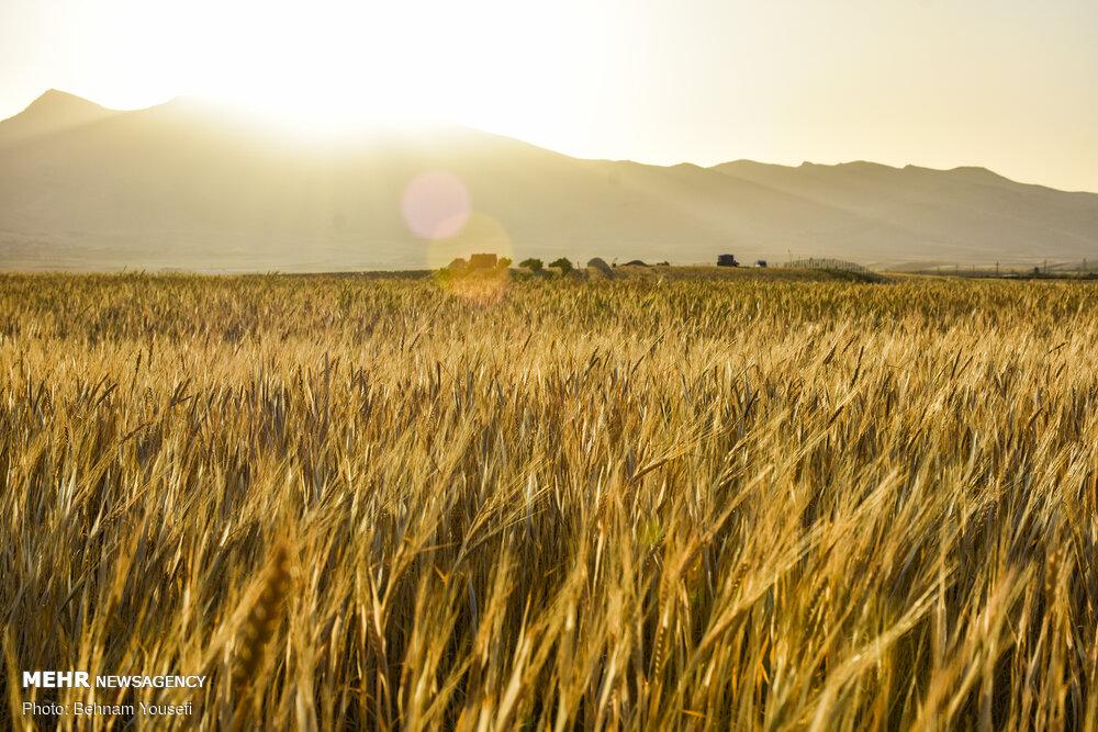۸ میلیون تن گندم خریدیم/ پرداخت ۲۰ هزار میلیارد تومان به کشاورزان