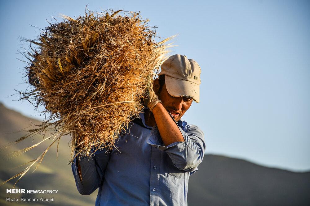 کشاورزان مزارع سبز گندم را به دامداران فروختند/کاهش تولیدقطعی است