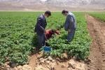 اختصاص ۷۵۰ هکتار از اراضی فیروزکوه برای کشت سیب زمینی