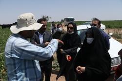 برداشت محصول گوجه فرنگی از مزارع استان قزوین آغاز شد