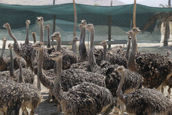 Ostrich farming in S Iran
