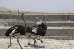 ظرفیت تولید گوشت شتر مرغ در سیستان وبلوچستان به ٢٠٠ تن ارتقا یافت