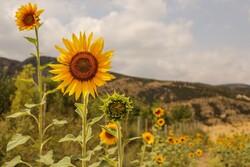 Sunflower farm in NE Iran