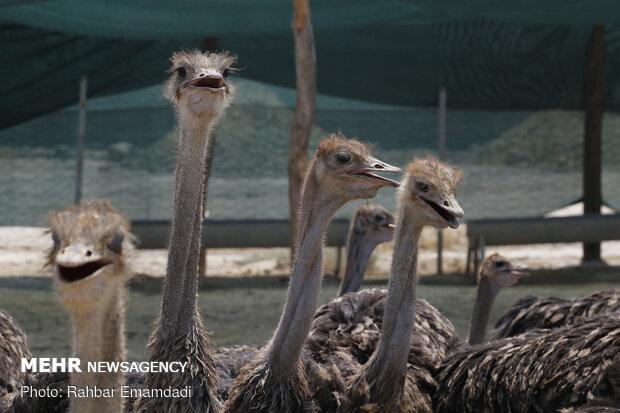 Ostrich farming in S Iran