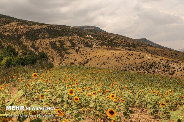 """حقول عبّاد الشمس في محافظة """"خراسان الشمالية"""" شمال شرق ايران"""