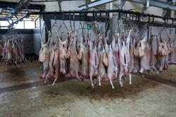 ۱۰۰ راس گوسفند قربانی در لامرد بین نیازمندان توزیع شد