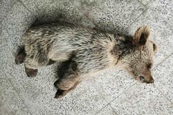 توله خرس قهوهای در مشگینشهر قربانی منفعتطلبی زنبورداران/مجازاتها بازدارنده نیست