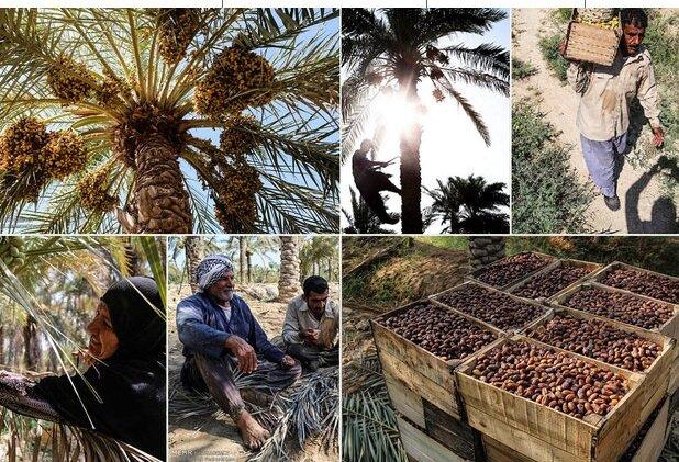 بازار خرما در تسلط کامل دلالان/ کشاورزان قیمت تعیین نمیکنند!