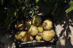 ہماگ گاؤں کے باغات سے پھلوں کی محصولات جمع کرنے کی فصل کا آغاز