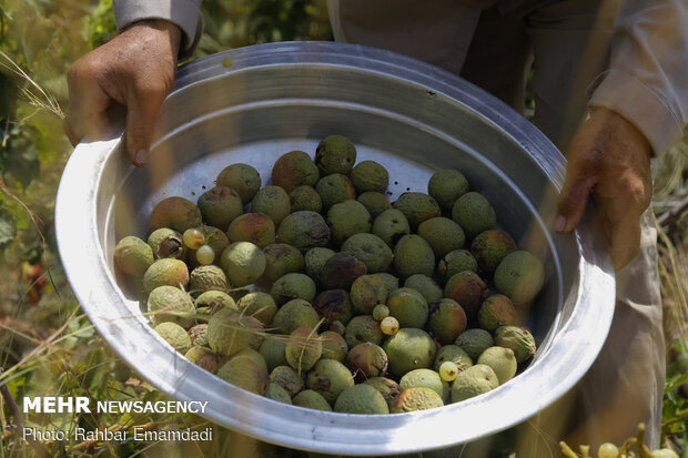 Fruits harvest in South of Iran