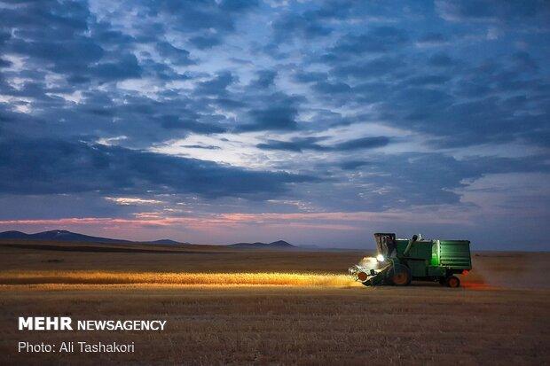 نافذة على جهود المزارعين في موسم حصاد القمح / صور
