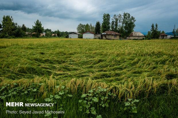 خسارت باران به اراضی شالیزاری شهرستان رشت