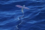 VIDEO: Strange images of flying fish