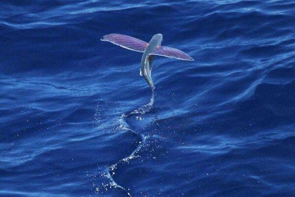 VIDEO: Strange images of flying fish
