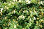 گیاه «یاس امین الدوله» در مقابله با کووید ۱۹ موثر است