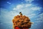 فصل برداشت خوشههای طلایی