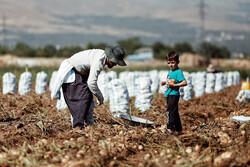 Potato harvest in Hamedan province