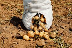 ہمدان کے کھیتوں سے آلو جمع کرنےکی فصل کا آغاز
