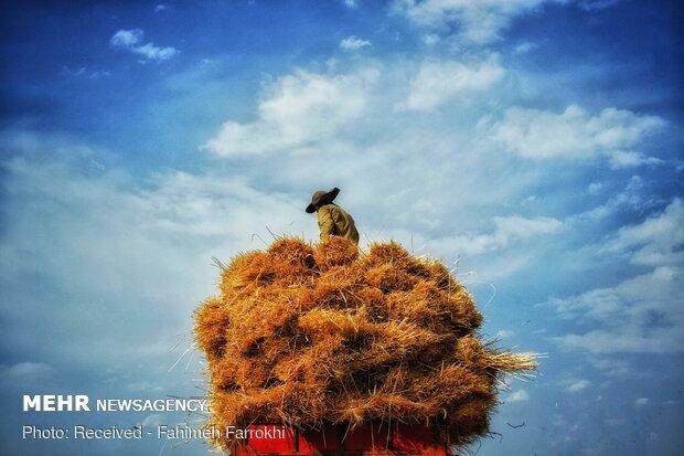 فصل برداشت خوشههای طلایی - اسفراین