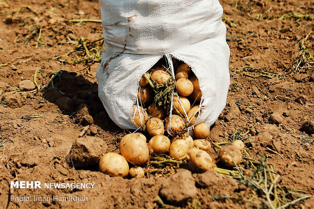 Potato harvest in Hamedan province