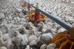 تولید سالانه ۵۰۰ تن گوشت مرغ در جاجرم