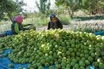 تولید سالانه هزار تن سیب درختی در باغات شهرستان جاجرم