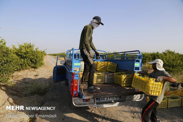 Lemon harvest in S Iran