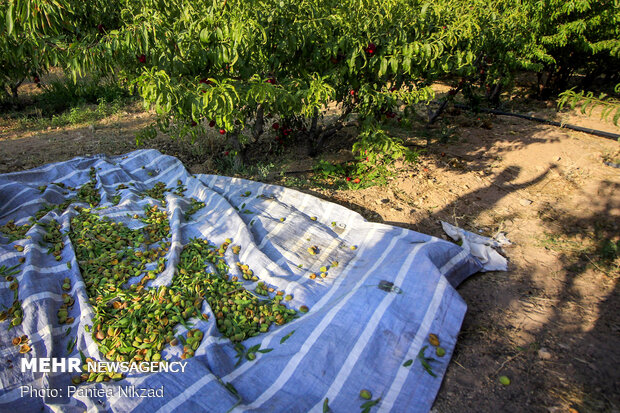 Almond Harvest in western Iran