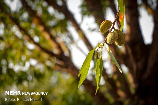 Almond Harvest in western Iran