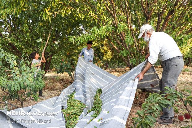 ۶۵ هزار تن محصولات باغی در شهرستان سامان تولید میشود