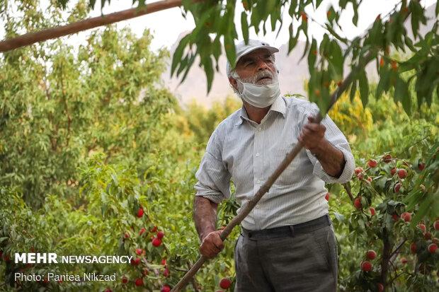 ۹ هزار هکتار باغ بادام در شهرستان سامان وجود دارد