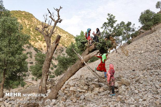یکی از زنان روستا در حال آفتاب کردن کشک (یکی از فرآورده های لبنی) بر روی درخت (به منظور عدم دسترسی سایر احشام به کشک ها)