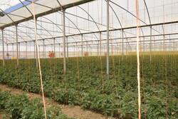 طرح های بخش کشاورزی در قروه به بهره برداری رسید