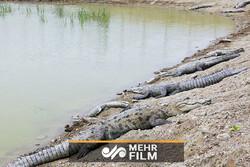 نبود آب دلیل استفاده مردم از آب برکهی محل زندگی تمساحها
