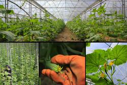 ۲.۶ میلیون تن محصول گلخانه ای تولید کردیم