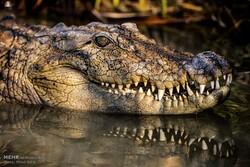 مردم مراقب رفتارهای تهاجمی و پرخطر تمساح پوزه کوتاه باشند