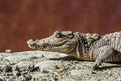 Mugger crocodile breeding an untapped potential in S Iran